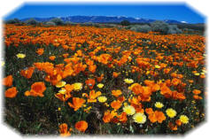 Field of Orange Poppies - © corbis
